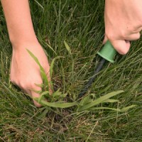 Crabgrass Tips