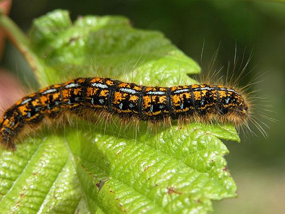 tent_caterpillar